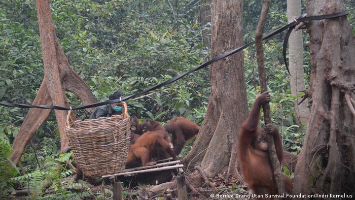 Borneo Orangutan Rehabilitation Center Kalimantan Waldbrände Indonesien (Borneo Orang Utan Survival Foundation/Andri Kornelius)