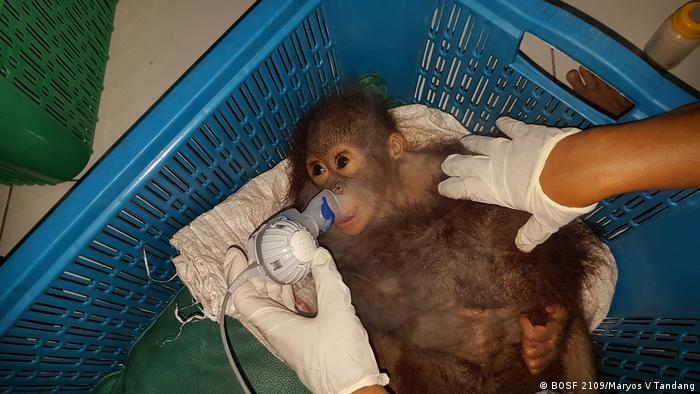 Indonesien Orangutans in Kalimantan (BOSF 2109/Maryos V Tandang)