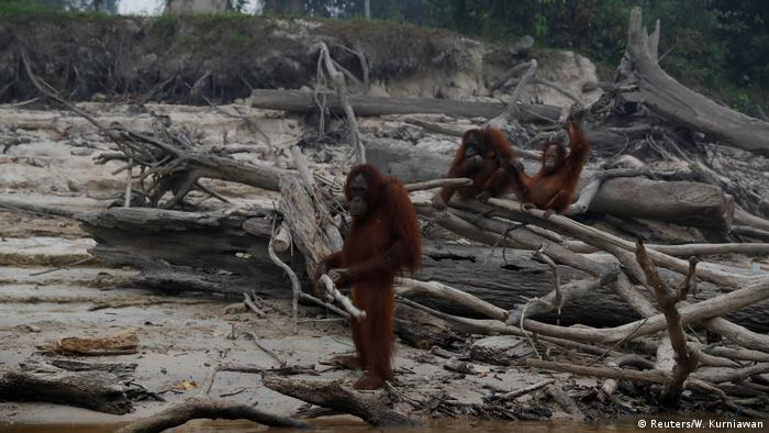 Orangutans in Borneo, Indonesia