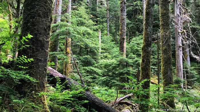 Douglasien Wald Bäume