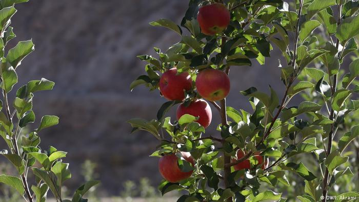Afghanistan Apfelernte in der Provinz Daikundi