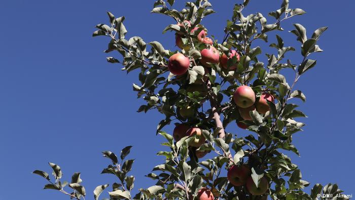 Afghanistan Apfelernte in der Provinz Daikundi (DW/I. Akrami)