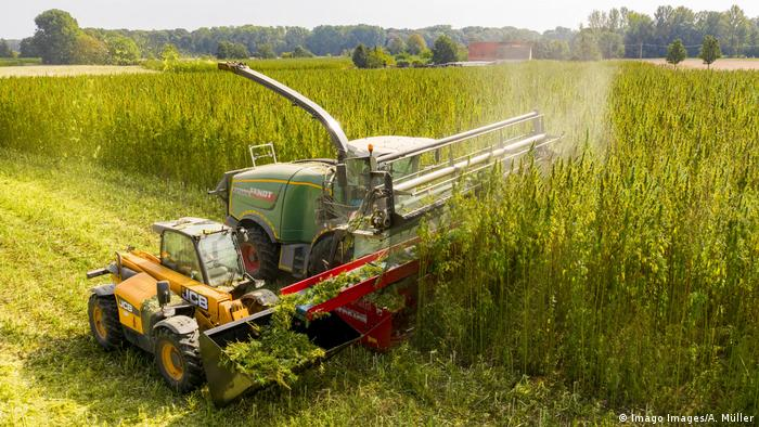 A combine harvester in a field of hemp