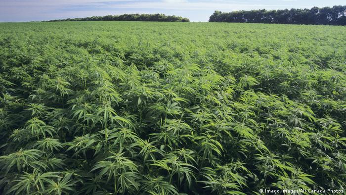 A symbolic picture of a commercial hemp farm