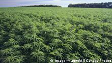 How Pakistan Is Trying To Boost Industrial Hemp Production Asia An In Depth Look At News From Across The Continent Dw 31 12 2020