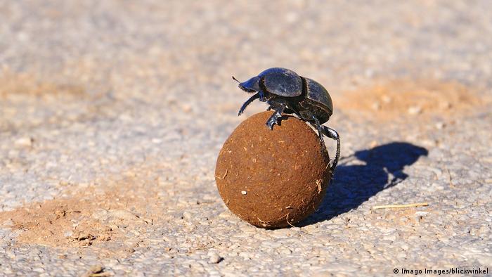 Un escarabajo pelotero haciendo rodar una bola de estiércol.