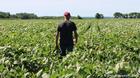 A man walks through a soybean field