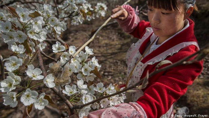Una mujer polinizando flores de manzano con un pequeño pincel.