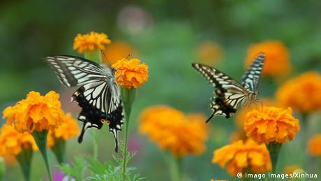 Two butterflies sucking nectar from orange flowers