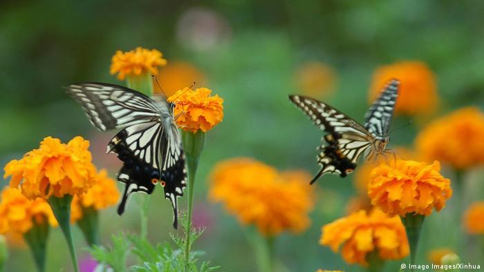Dos mariposas chupando néctar de flores naranjas.