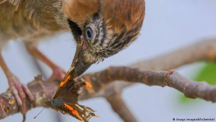 Un pájaro comiendo una mariposa.