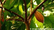 Kakao Kakaobaum Theobroma cacao mit Blüten und Früchten