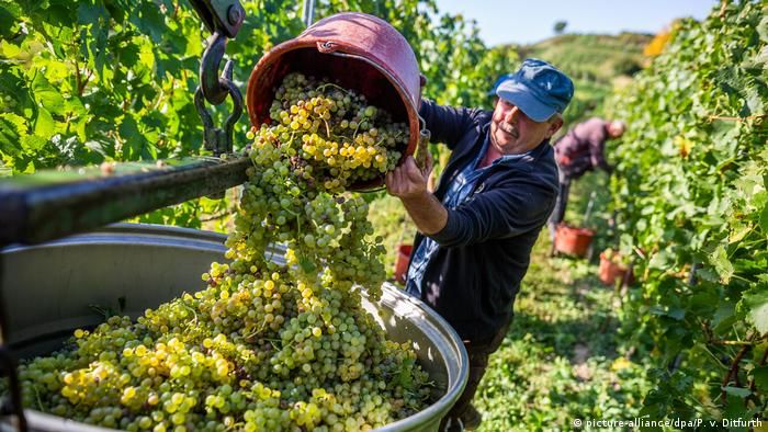 man in a vineyard empties grapes into a large container (picture-alliance/dpa/P. v. Ditfurth)