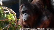 Argentinien Orang Utan Sandra im Zoo von Buenos Aires