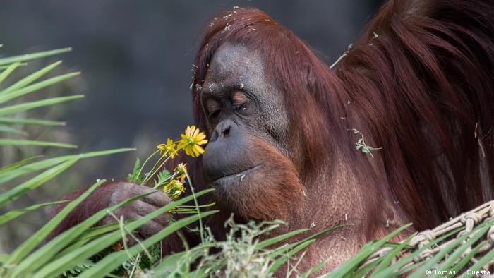 Orangutanica z prawami obywatelskimi (Tomas F. Cuesta)