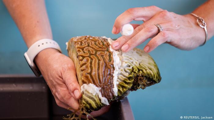 Ne ovo nije mozak. Ovo je morska životinja - koral. Marilyn Brandt, profesorica na Univerzitetu Djevičanskih otoka pronašla je lijek za korale kojim u posljednjih nekoliko godina prijeti smrtonosna bolest. Ona na ovoj fotografiji stavlja antibiotsku pastu koja bi mogla biti rješenje dugogodišnjeg problema.