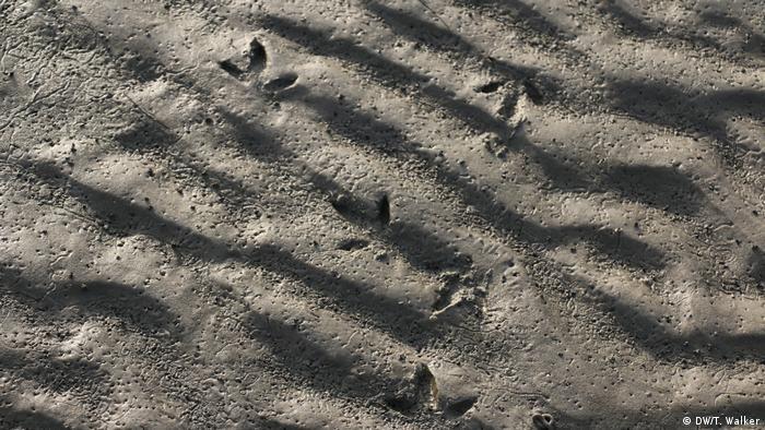 Bird footprints on a mudflat