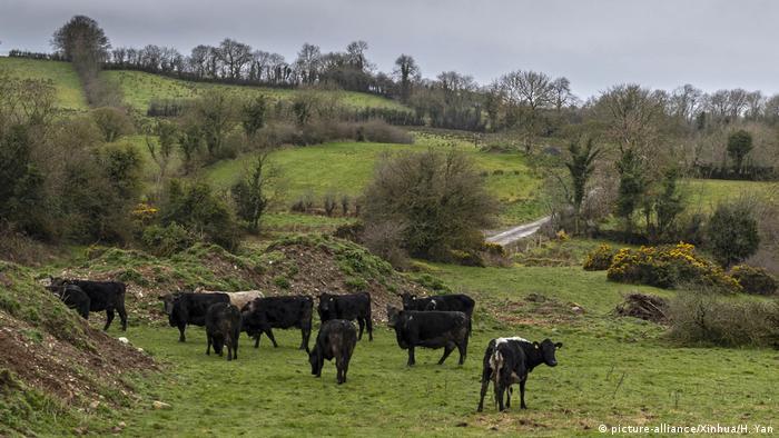 Nordirland Grenze Irland Rinder (picture-alliance/Xinhua/H. Yan)