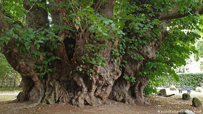 BdT, Deutschlands erster Nationalerbe-Baum (picture-alliance/dpa/A. Roloff)