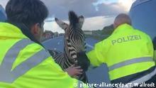 Zirkus-Zebras machen Ausflug