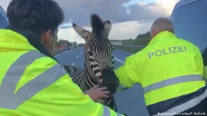 Circus zebra on highway is chased by police