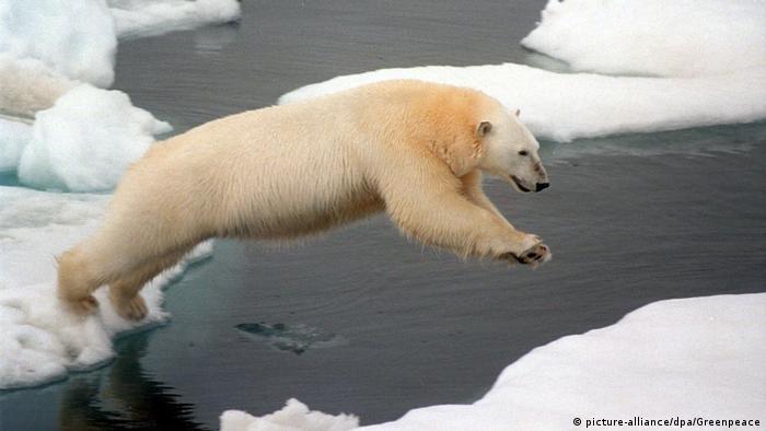 Los osos polares pierden cada vez más de su hábitat en el Ártico.