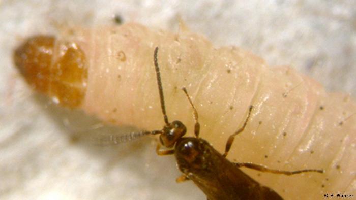 Brackwespe auf der Larve eines Schädlings