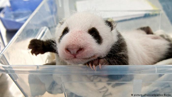Одна из маленьких берлинских панд во время взвешивания