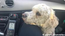 HANDOUT - 05.10.2019, Niedersachsen, Hannover: Hund «Fiete» sitzt in einem Fahrzeug der Polizei Hannover. Großes Glück für einen entlaufenen Hund auf der Autobahn 7 in Hannover. Ein Ehepaar hat das Tier während der Fahrt auf dem Mittelstreifen sitzend gesehen und sofort angehalten. Nachdem sie ihn aus seiner misslichen Lage befreit hatten, riefen sie sofort den Notruf, wie ein Polizeisprecher am Montag sagte. Mittels der Hundemarke am Halsband konnten die Beamten dann schnell die Besitzer von «Fiete» ausmachen und ihn wohlbehalten nach Hause bringen. (Das Display von dem Funkgerät wurde von dem Urheber des Handouts gepixelt) Foto: ---/Polizei Hannover/dpa - ACHTUNG: Nur zur redaktionellen Verwendung und nur mit vollständiger Nennung des vorstehenden Credits +++ dpa-Bildfunk +++ |