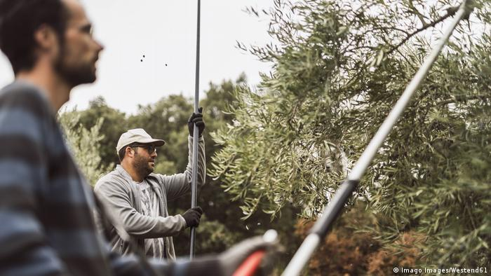 Spanish farmers during the olive harvest
