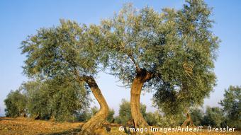 Αυξανόμενα σμήνη του δάκου της ελιάς απειλούν πλέον την ευρωπαϊκή βιομηχανία ελαιολάδου