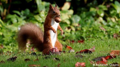 BdTD Schottland | Eichhörnchen mit Walnuss (Reuters/R. Cheyne)