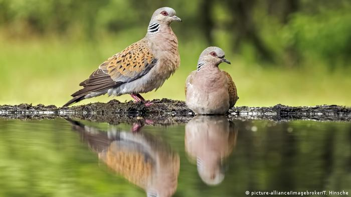 Turtle doves (Streptopelia turtur) (picture-alliance/imagebroker/T. Hinsche)