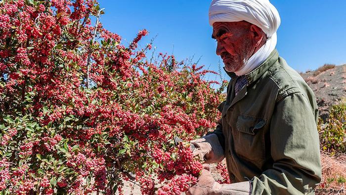 برداشت زرشک از سطح مزارع زیرکشت این محصول در روستاها و مناطق مختلف خراسان جنوبی آغاز شده است. زرشک یکی از محصولات عمده استان خراسانجنوبی است. ۹۸ درصد از زرشک ایران در خراسان جنوبی تولید میشود.