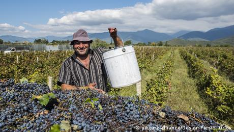 Grape harvest in Georgia's Kakheti region (picture-alliance/Design Pics/S. Orlov)