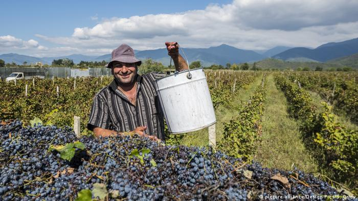 Grape harvest in Georgia's Kakheti region