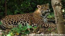 Ökotourismus in Costa Rica Jaguar