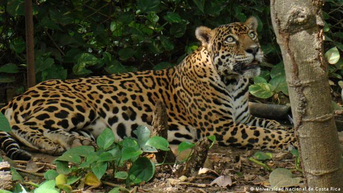 Ökotourismus in Costa Rica Jaguar (Universidad Nacional de Costa Rica)