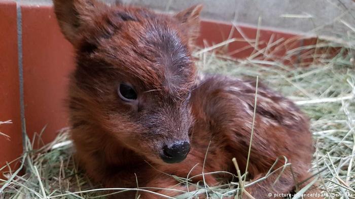 Un pudú recién nacido.