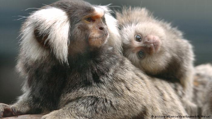 Los monos tití tienen suerte: el papá se ocupa de sus hijos, pone el hombro y los lleva a pasear.