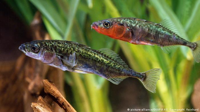 Fische Dreistachliger Stichling (picture-alliance/OKAPIA KG, Germany/H. Reinhard)
