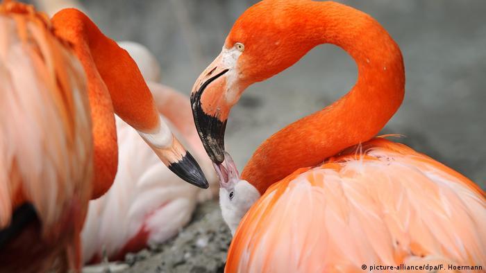 Rosa und Rote Flamingoküken im Tierpark Hellabrunn