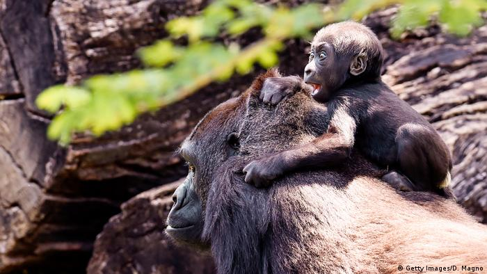 BdT Zoo Gorilla Baby (Getty Images/D. Magno)