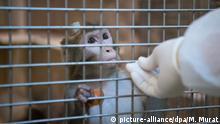 ARCHIV - ILLUSTRATION: 10.03.2016, Baden-Württemberg, Tübingen: Ein Rhesus-Affe mit einem Implantat wird in der Tierhaltung im Max-Planck-Institut für biologische Kybernetik von einem Tierpfleger gefüttert. (zu dpa «Strafbefehle wegen Misshandlung von Affen beantragt vom 20.02.2018) Foto: Marijan Murat/dpa +++(c) dpa - Bildfunk+++ | Verwendung weltweit
