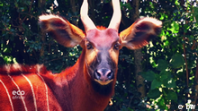 Eco Africa Sendung Nummer 186 | Bergbongoantilope in Kenia