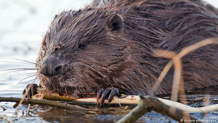 Beaver in the water. Photo credit: picture alliance / dpa.