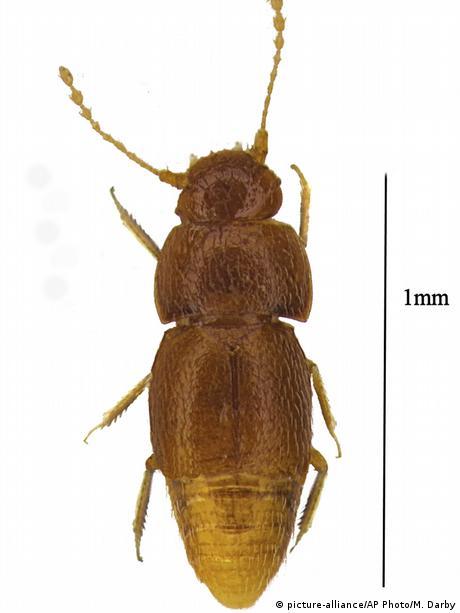 Diagram of Thunberg beetle