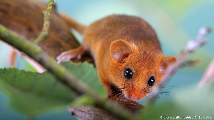 A dormouse sits on a branch in Germany (picture-alliance/dpa/O. Schreiter)