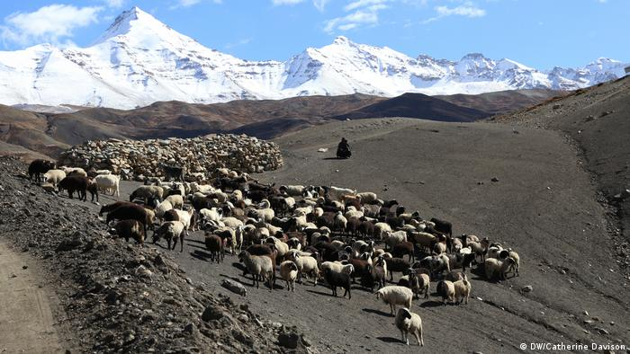Sheep search for grass to nibble on now dry land below India's Himalayan Mountains.