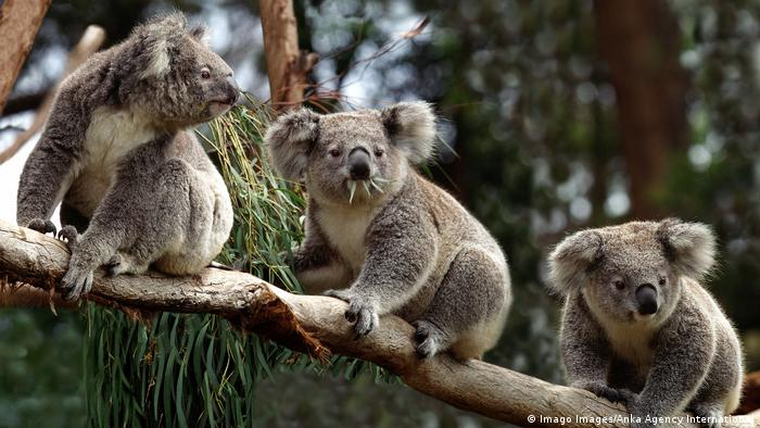 Three koalas on a branch
